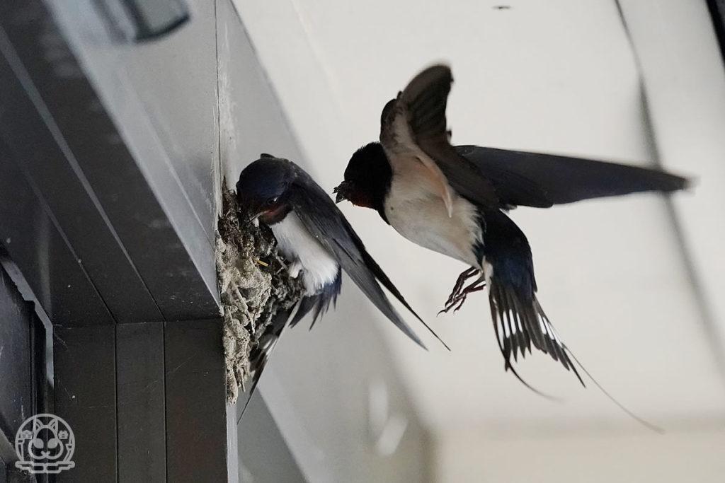 ツバメの巣作り
