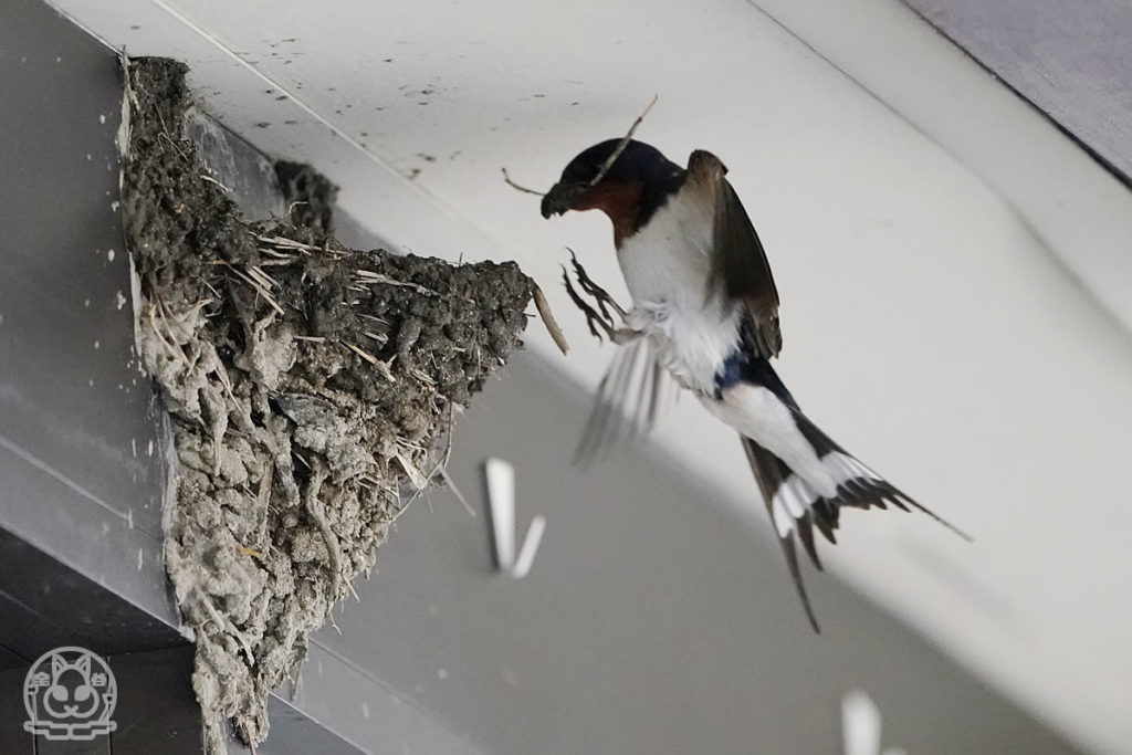 ツバメの巣づくり