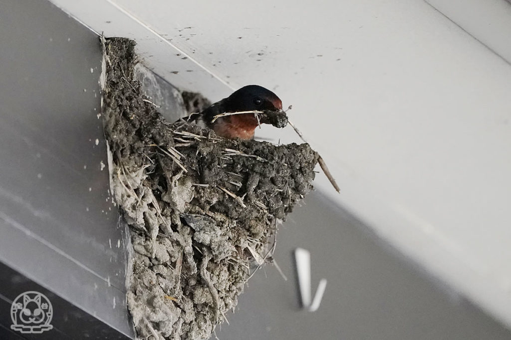 ツバメの巣、完成間近