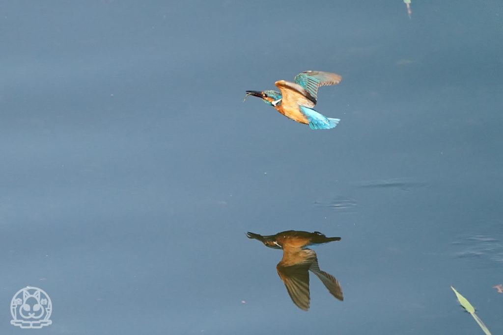 水面に映るカワセミ