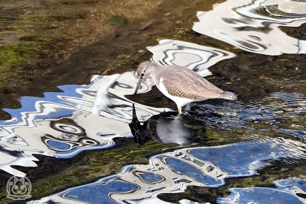 川のイソシギ