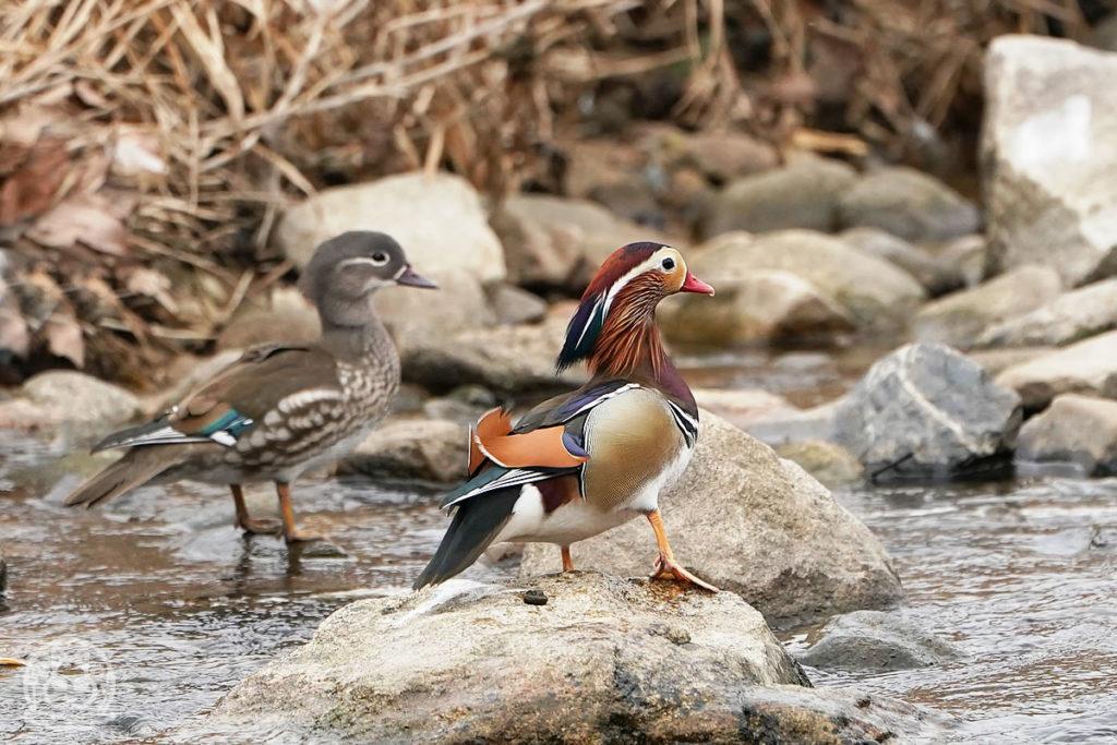 安川の野鳥<冬>
