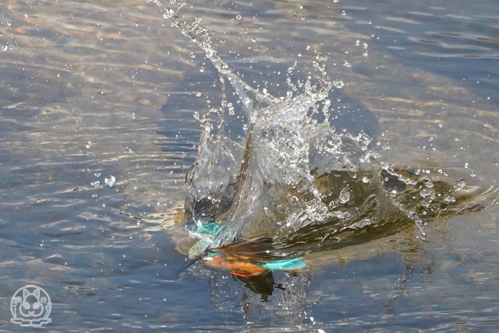 カワセミの魚捕り