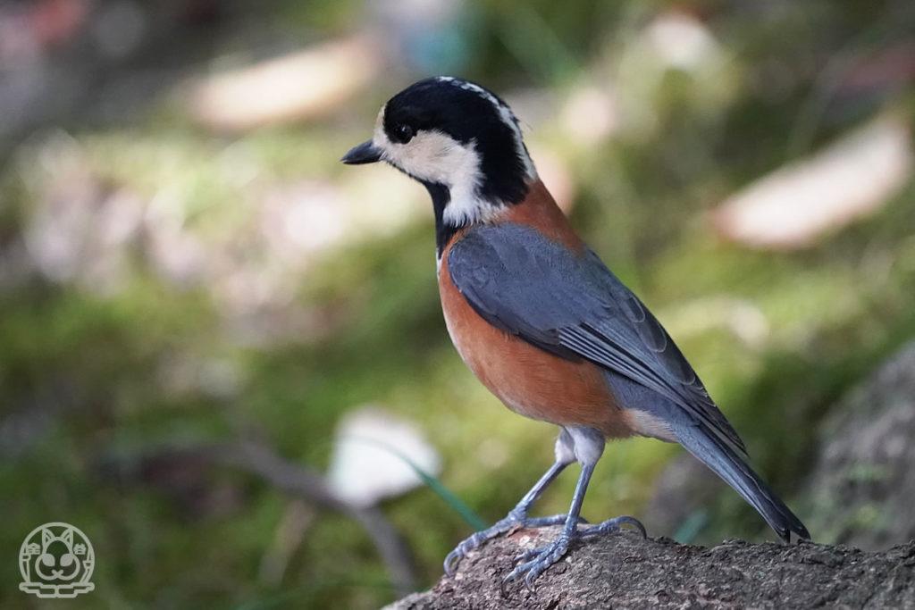 秋の広島城の野鳥達