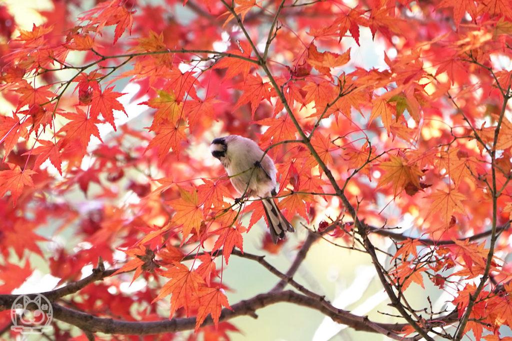 三滝寺に紅葉と野鳥を撮りに