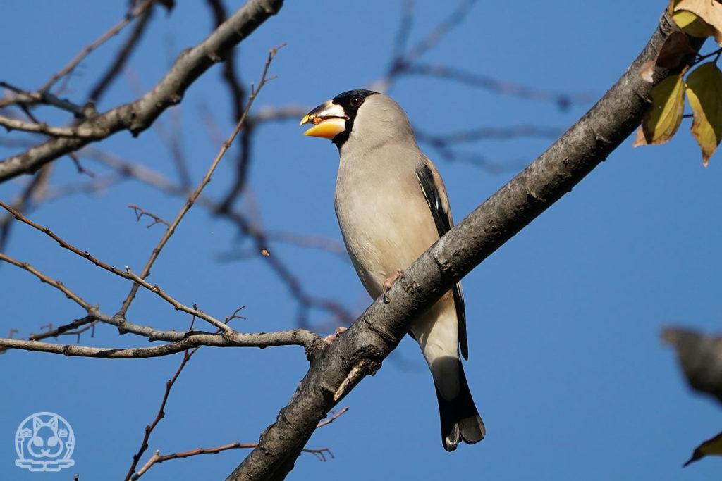 2020年冬広島城の野鳥